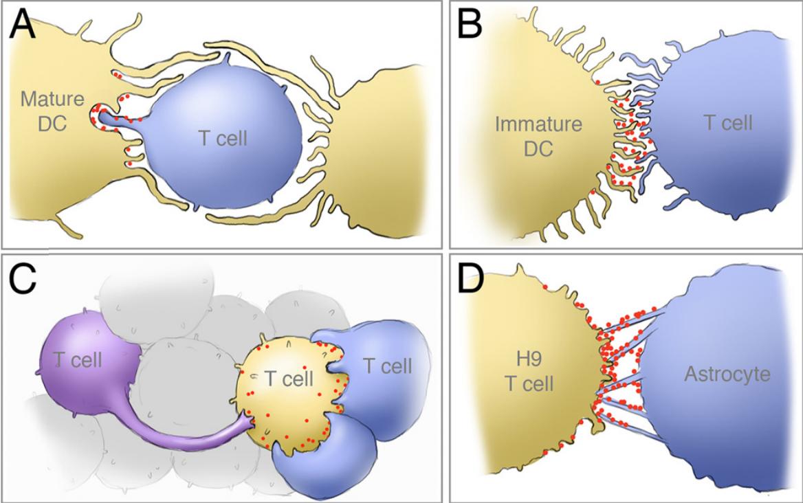 CD4-клетки